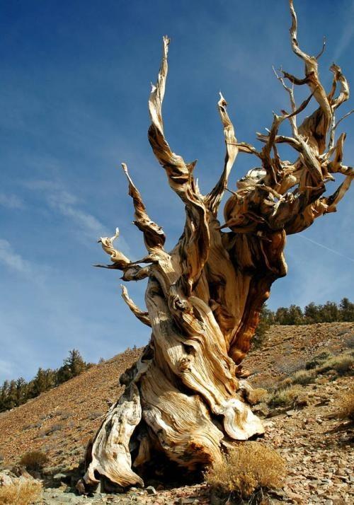 Искусство природы. Старейшие деревья в мире. Изображение № 3.