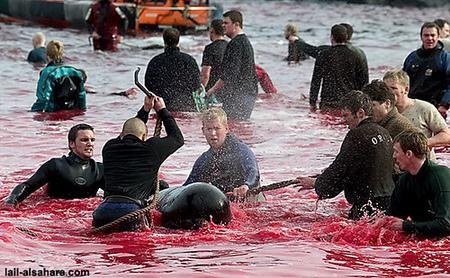 Убийство дельфинов вДании. Изображение № 4.