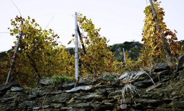 Горный виноград Nebbiolo. Изображение № 7.