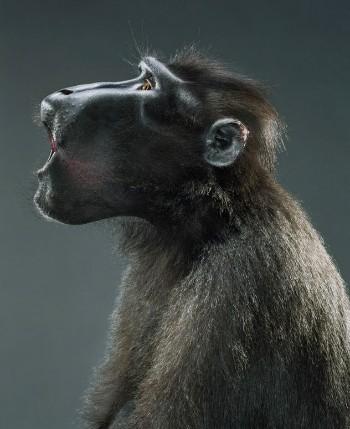 """Jill Greenberg """"Monkey portraits"""". Изображение № 35."""