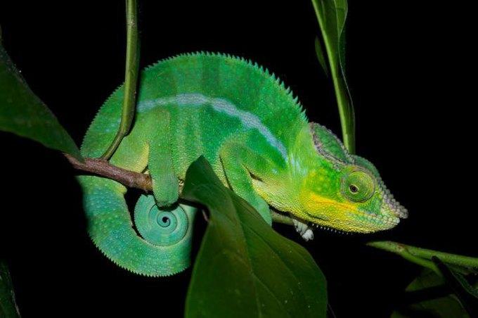 На Мадагаскаре обнаружили 11 новых видов хамелеонов . Изображение № 2.