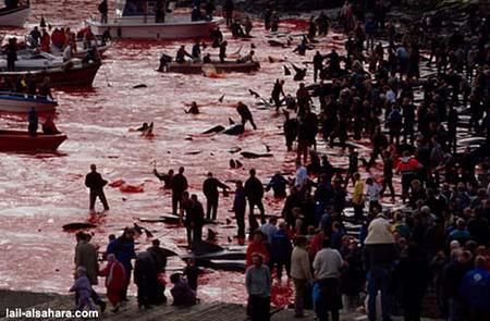 Убийство дельфинов вДании. Изображение № 3.