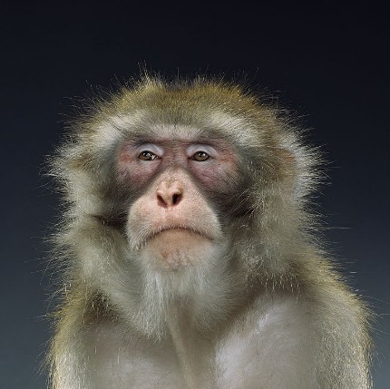 "Jill Greenberg ""Monkey portraits"". Изображение № 7."