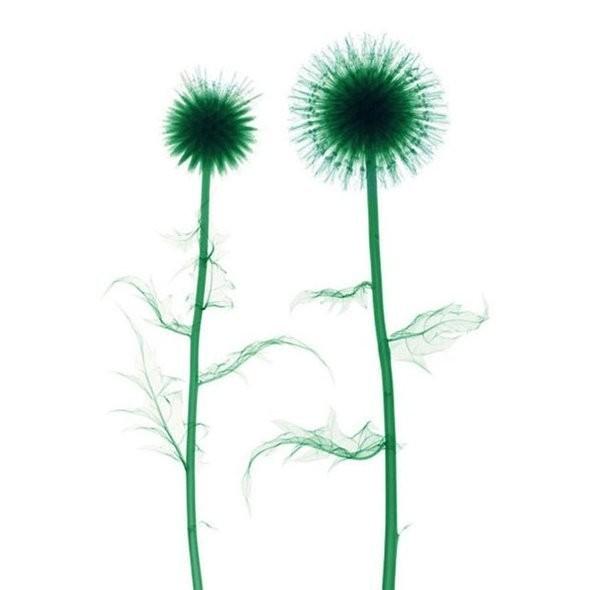 Изображение 10. Цветы под рентгеном.. Изображение № 9.