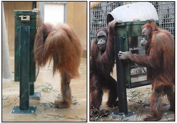 Орангутана-тест. Изображение № 4.