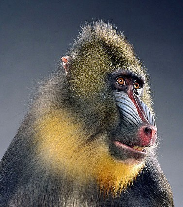 "Jill Greenberg ""Monkey portraits"". Изображение № 23."