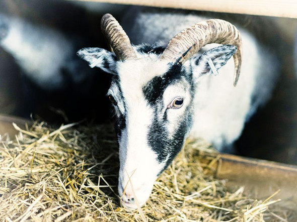 Готландские овцы. Изображение № 73.