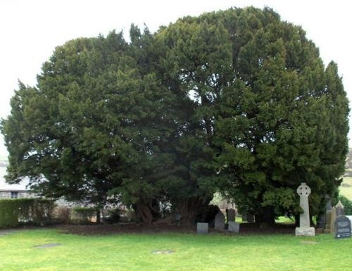 Искусство природы. Старейшие деревья в мире. Изображение № 7.