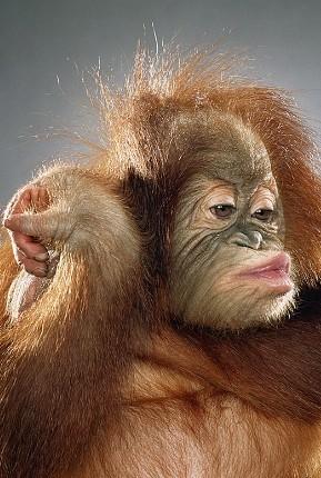 """Jill Greenberg """"Monkey portraits"""". Изображение № 22."""
