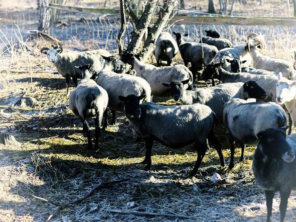 Готландские овцы. Изображение № 74.