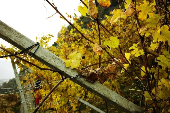 Горный виноград Nebbiolo. Изображение № 3.