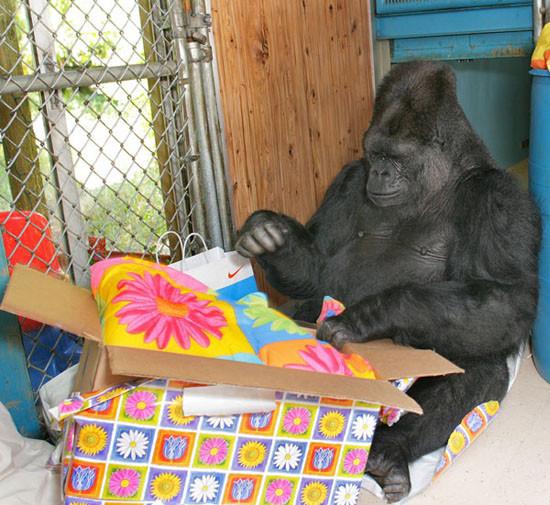 Говорящая горилла Коко. Изображение № 1.