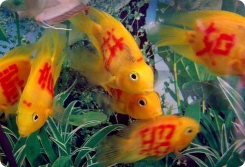 Татуированные рыбы. Изображение № 1.