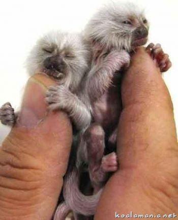Самая маленькая обезьянка вмире. Изображение № 2.