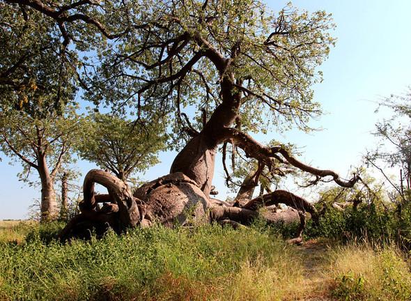 Остров баобабов в Ботсване. Изображение № 1.