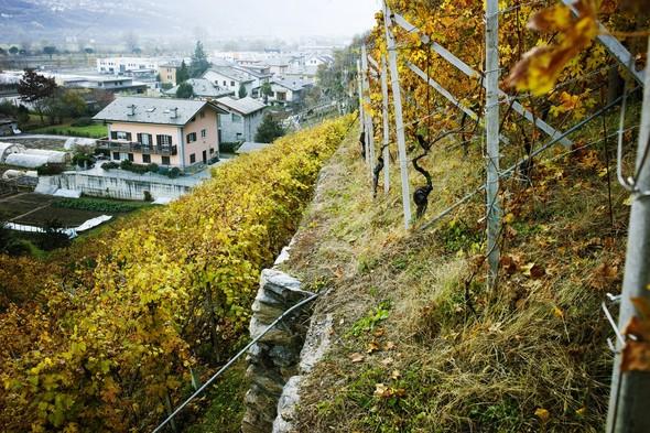 Горный виноград Nebbiolo. Изображение № 4.