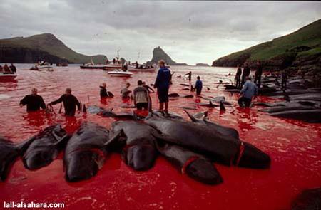 Убийство дельфинов вДании. Изображение № 8.