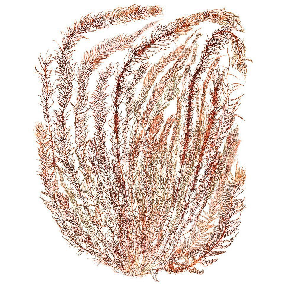 Морские водоросли, которые выглядят как инопланетные существа. Изображение № 8.