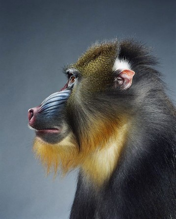 "Jill Greenberg ""Monkey portraits"". Изображение № 1."
