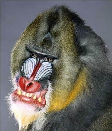 """Jill Greenberg """"Monkey portraits"""". Изображение № 58."""
