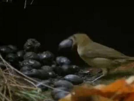 Шалашник. Птица-Дизайнер. Изображение № 5.