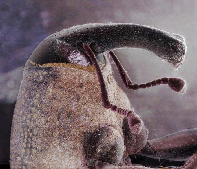 Хоботок жука-долгоносика. Изображение № 6.