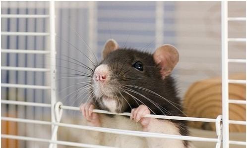 Фотосессия крысят отJessica Florence. Изображение № 12.