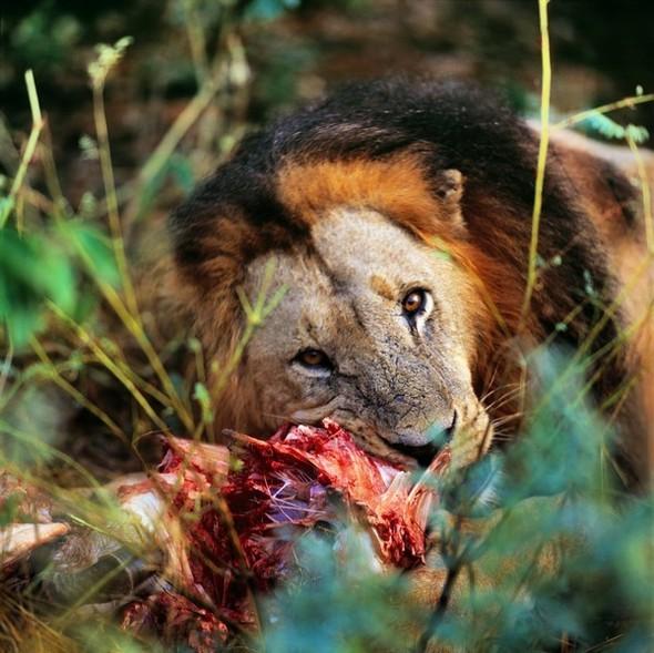 Лев. Леопард. Африка. Изображение № 1.