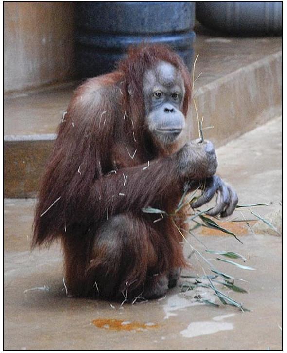 Орангутана-тест. Изображение № 6.