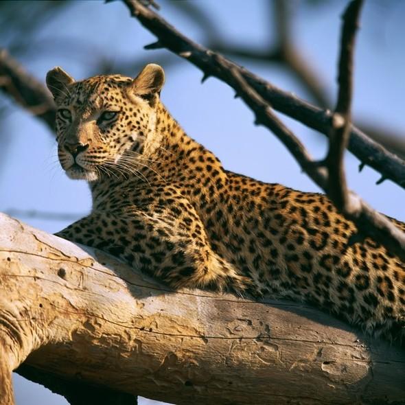 Лев. Леопард. Африка. Изображение № 6.
