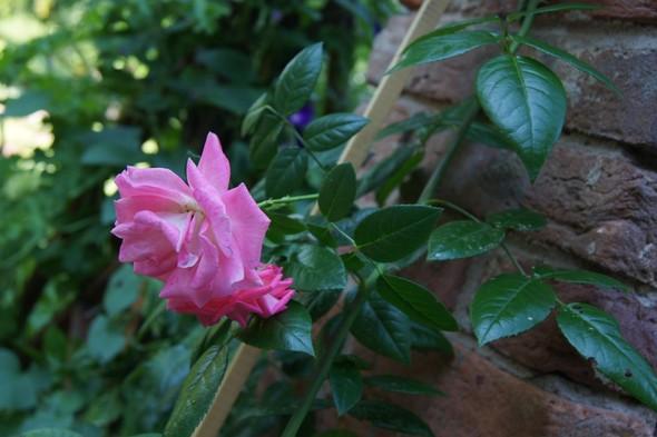 Её величество розы. Изображение № 2.