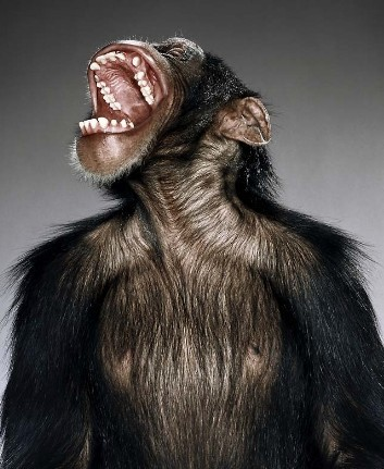 """Jill Greenberg """"Monkey portraits"""". Изображение № 51."""