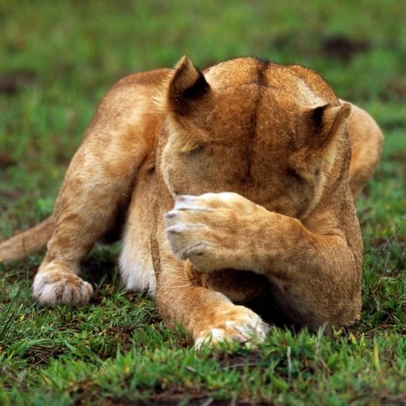 Лев. Леопард. Африка. Изображение № 3.