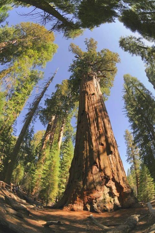 Искусство природы. Старейшие деревья в мире. Изображение № 11.