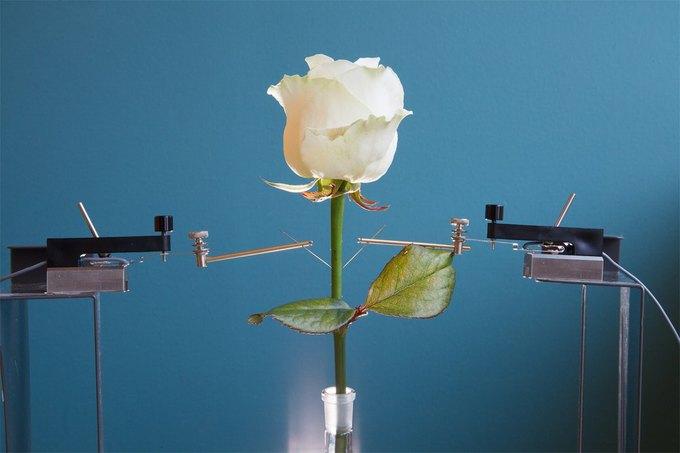 В Швеции создали розу-«киборга». Изображение № 1.