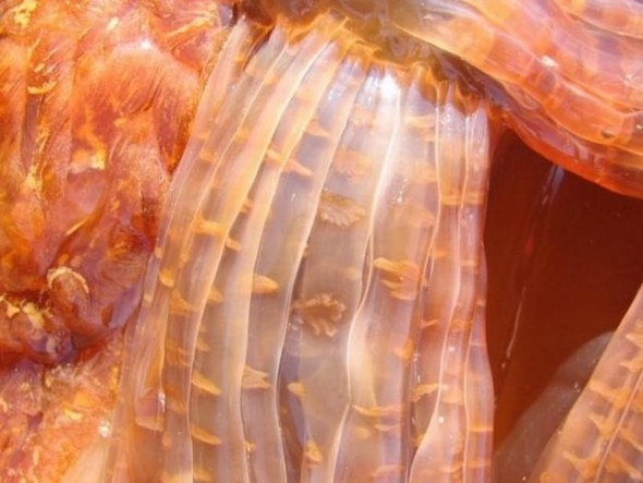 Огромная медуза на пляже. Изображение № 4.