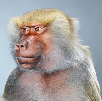 """Jill Greenberg """"Monkey portraits"""". Изображение № 24."""