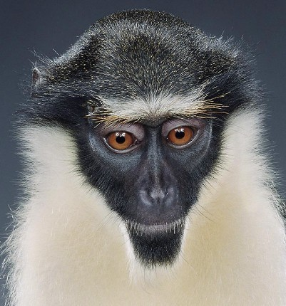 "Jill Greenberg ""Monkey portraits"". Изображение № 17."