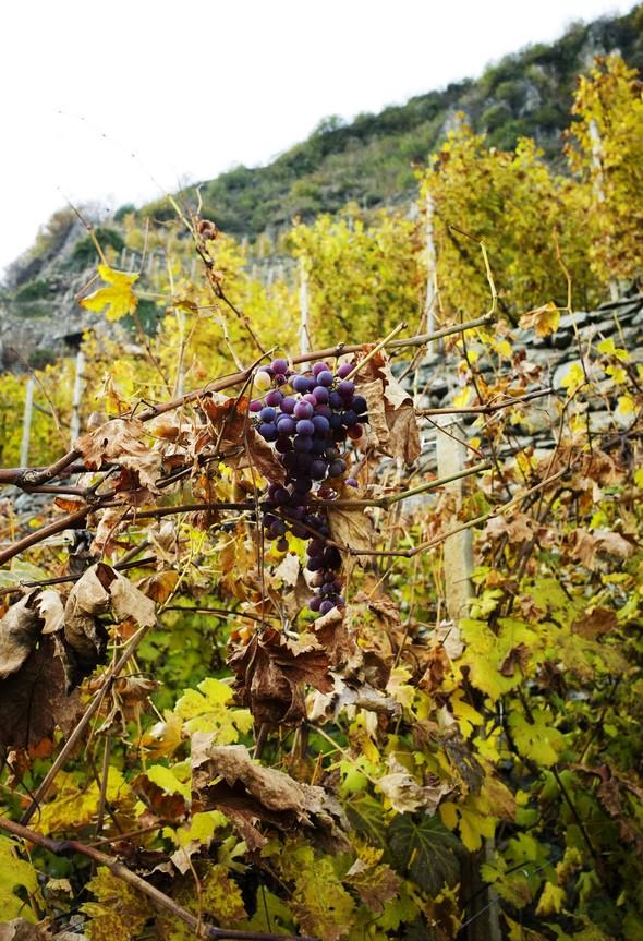 Горный виноград Nebbiolo. Изображение № 5.