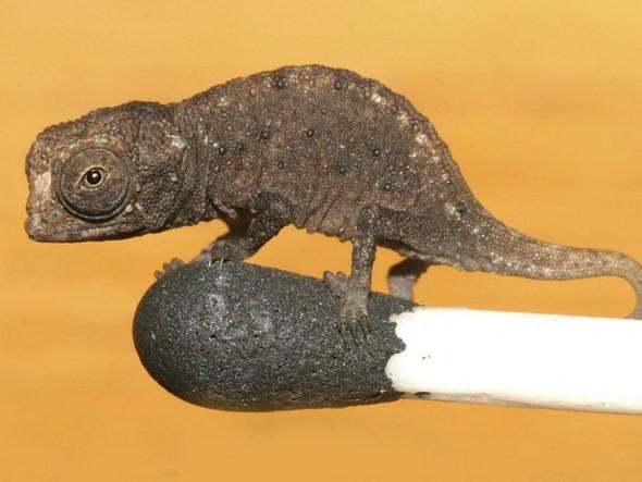 Хамелеон (Brookesia) - он самый мелкий)). Изображение № 1.