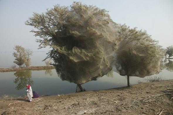 Изображение 8. Паучьи сети в Пакистане.. Изображение № 8.