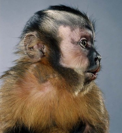 "Jill Greenberg ""Monkey portraits"". Изображение № 38."