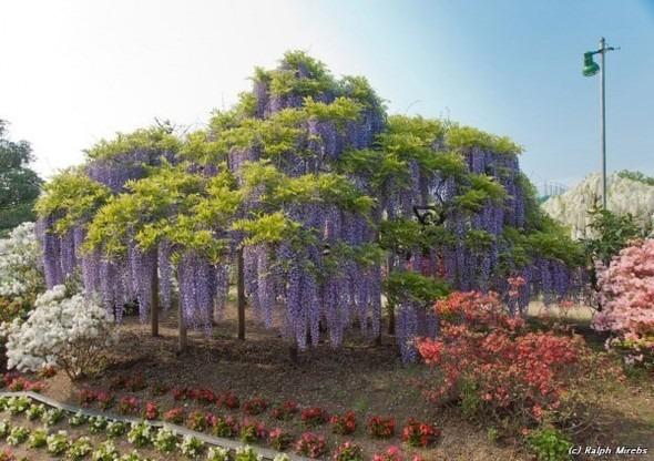 Цветочные водопады Асикага. Изображение № 9.