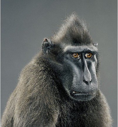 "Jill Greenberg ""Monkey portraits"". Изображение № 20."