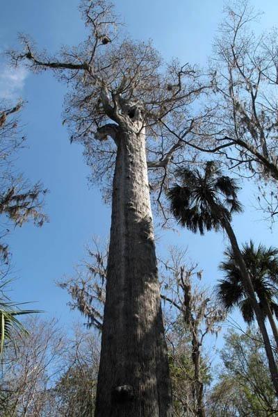 Искусство природы. Старейшие деревья в мире. Изображение № 9.