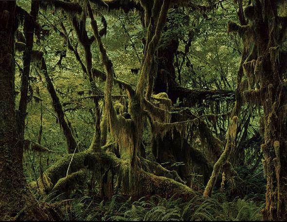 Дождевой лес Hoh (Олимпийский Национальный парк, Вашингтон). В паутине сплелись Ель Sitka, Клен Vine, Клен Bigleaf, Western Hemlock и папоротник Sword. Дождевой лес Hoh - самый большой неповрежденный и сохраненный прибрежный  лес в мире. Это, как полагают, самое влажное место на континенте США. Он получает 140 - 167 дюймов дождя ежегодно. Расположенный в Олимпийском Национальном парке, Hoh полностью защищен от коммерческой эксплуатации. В этом лесу растет Тихоокеанский Тис, который до недавнего времени считался незначительным деревом. Теперь же в нем обнаружили таксол - вещество, которое пытаются использовать при лечении больных раком яичников, груди и легких.. Изображение № 9.
