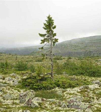 Искусство природы. Старейшие деревья в мире. Изображение № 15.