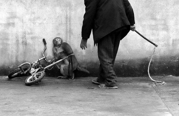 Обезьяна съёжилась перед дрессировщиком в китайском цирке в провинции Сучжоу / Автор: Yongzhi Chu. Изображение № 19.