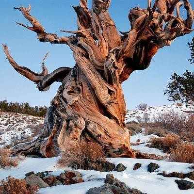 Искусство природы. Старейшие деревья в мире. Изображение № 4.