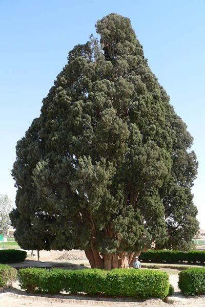 Искусство природы. Старейшие деревья в мире. Изображение № 5.
